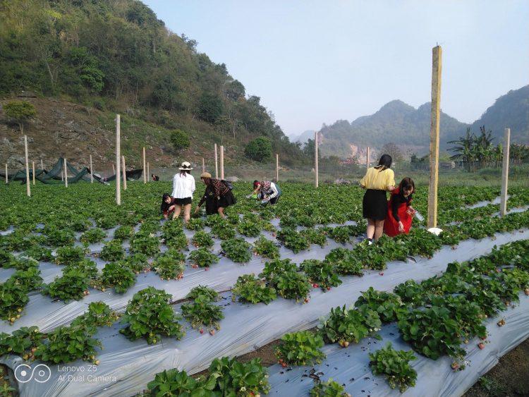 hana farm 750x563 - Dâu tây Mộc Châu | Review chi tiết