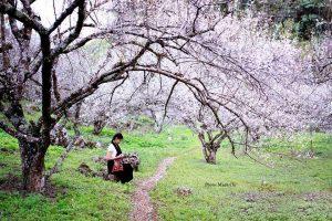 hoa mo moc chau 07 300x200 - Review tất tần tần tật về hoa mơ Mộc Châu
