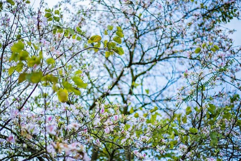 hoa ban moc chau 14 min - hoa ban Mộc Châu - Loài hoa thiếu nữ