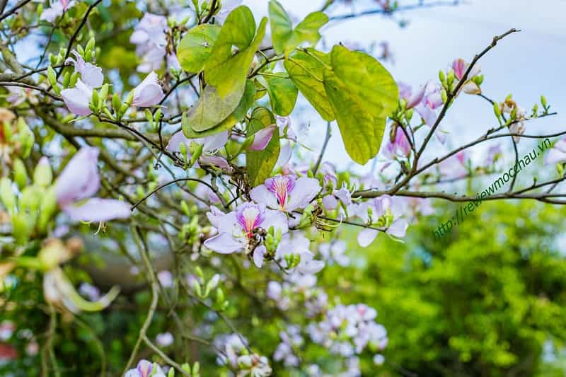 hoa ban moc chau 24 min - hoa ban Mộc Châu - Loài hoa thiếu nữ