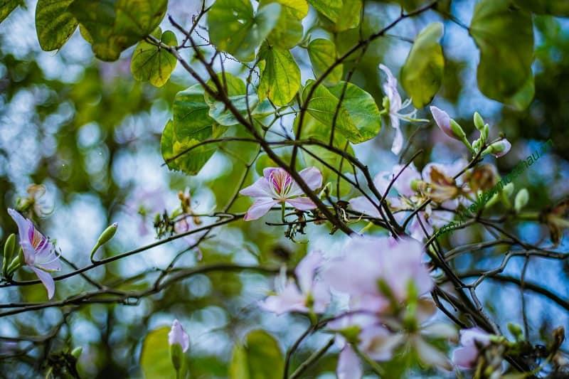 hoa ban moc chau 27 min - hoa ban Mộc Châu - Loài hoa thiếu nữ