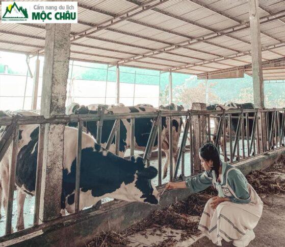 review trang trai bo sua moc chau 1 result 559x483 - Review trang trại bò sữa daily farm Mộc Châu | chi tiết, đầy đủ nhất