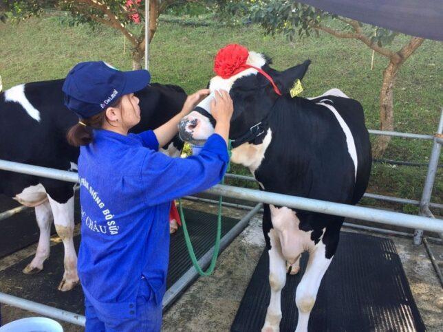 hoa hau bo sua moc chau 2 644x483 - Độc đáo hội thi Hoa hậu bò sữa Mộc Châu