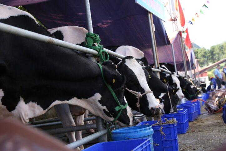 hoa hau bo sua moc chau 4 724x483 - Độc đáo hội thi Hoa hậu bò sữa Mộc Châu