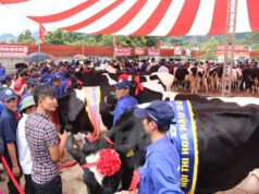 Hội thi hoa hậu bò sữa Mộc Châu