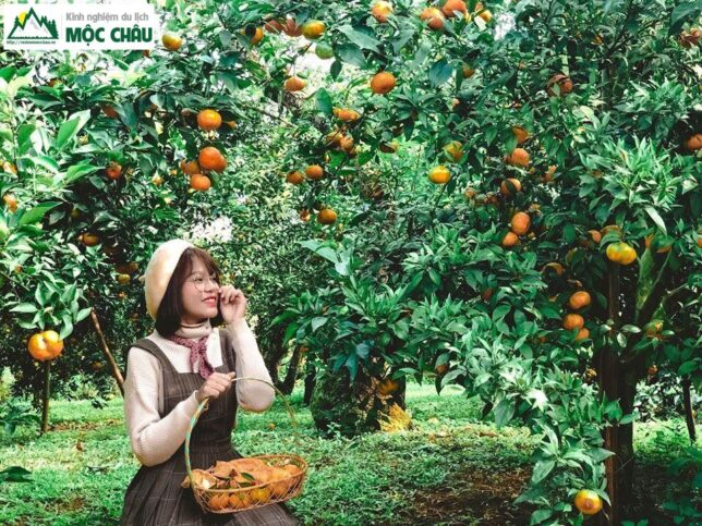 hai cam moc chau 23 644x483 - Checkin vườn cam ở Mộc Châu trải nghiệm khó quên