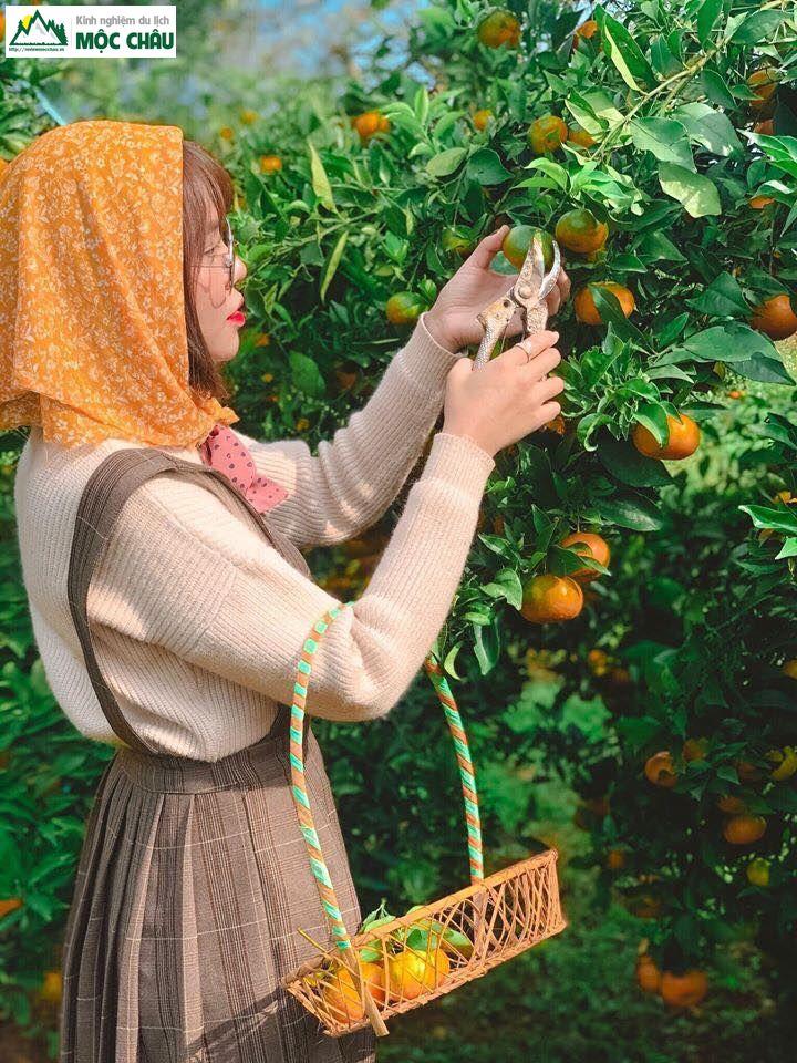hai cam moc chau 25 - Checkin vườn cam ở Mộc Châu trải nghiệm khó quên