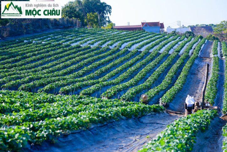 MCC 8799 Copy result 724x483 - Khám phá vườn dâu tây Toàn Bẩy ''Cực Khủng'' giữa lòng thị trấn