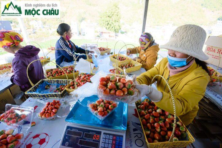 dau tay toan bay 10 724x483 - Khám phá vườn dâu tây Toàn Bẩy ''Cực Khủng'' giữa lòng thị trấn