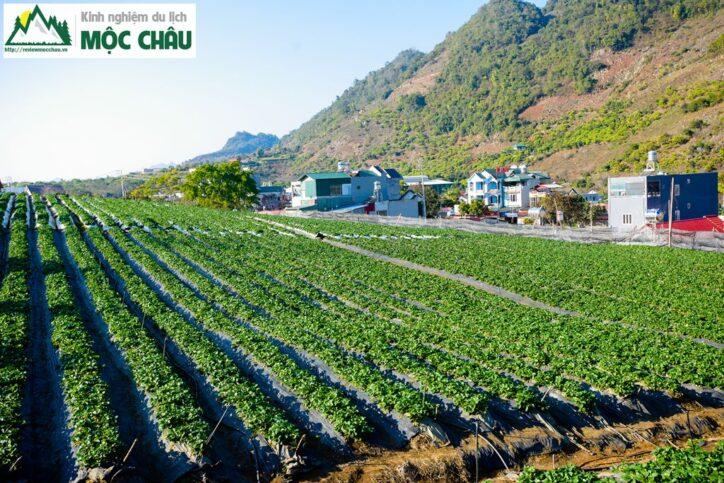 dau tay toan bay 14 724x483 - Khám phá vườn dâu tây Toàn Bẩy ''Cực Khủng'' giữa lòng thị trấn
