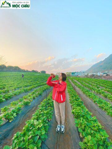 dau tay toan bay 25 362x483 - Khám phá vườn dâu tây Toàn Bẩy ''Cực Khủng'' giữa lòng thị trấn