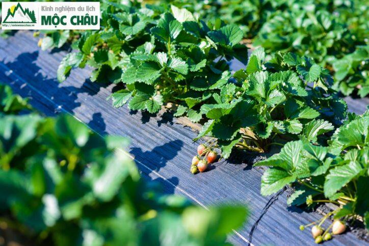 dau tay toan bay 29 724x483 - Khám phá vườn dâu tây Toàn Bẩy ''Cực Khủng'' giữa lòng thị trấn