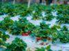 minh tien farm moc chau 21 100x75 - Review Mộc Châu tất tần tật | Blog chia sẻ kinh nghiệm du lịch Mộc Châu
