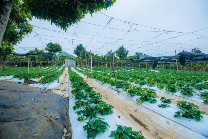 minh tien farm moc chau 57 724x483 - Khám phá dâu tây khổng lồ ở trang trại Minh Tiến Farm